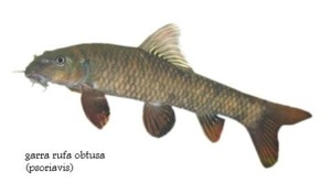 Garra Rufa Fish